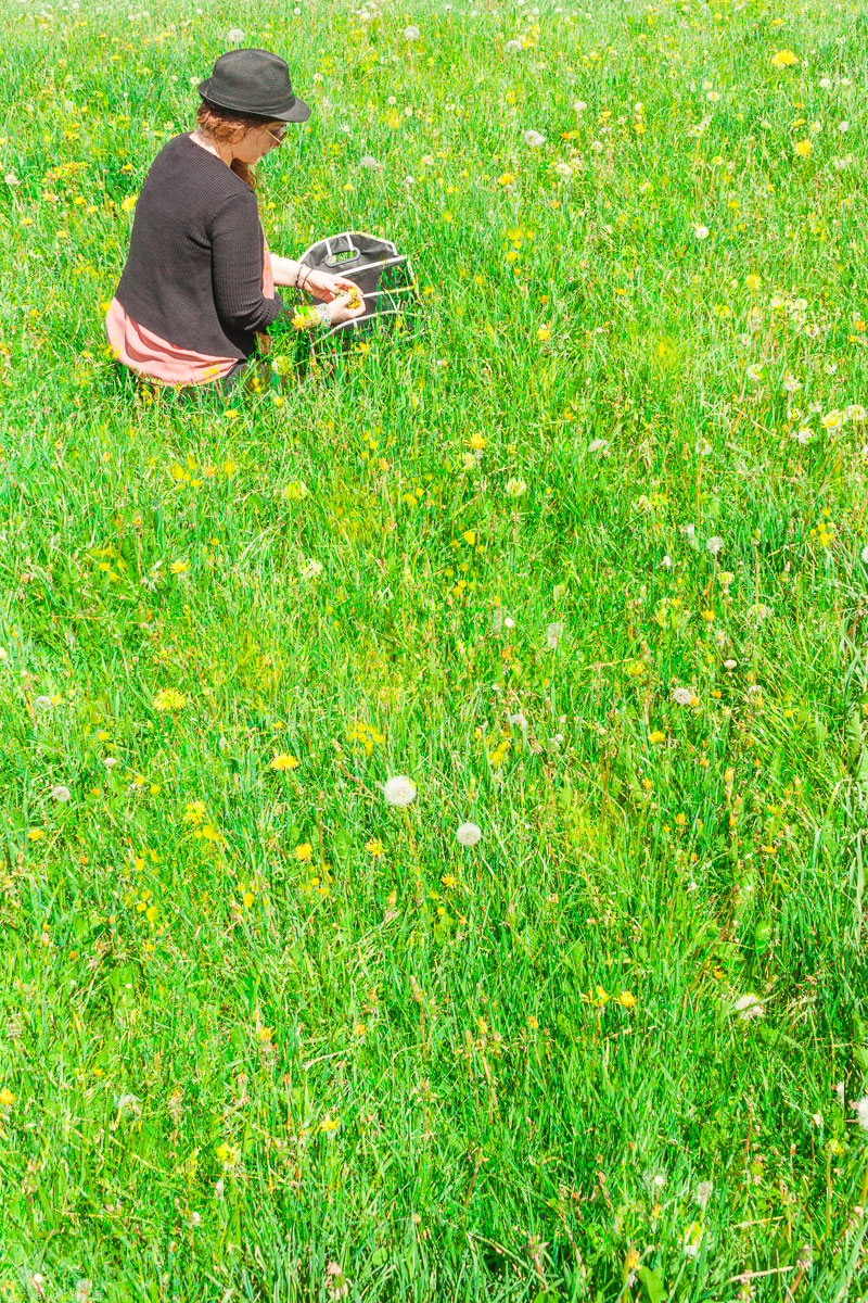 Picking wild dandelions to make Vegan Honey