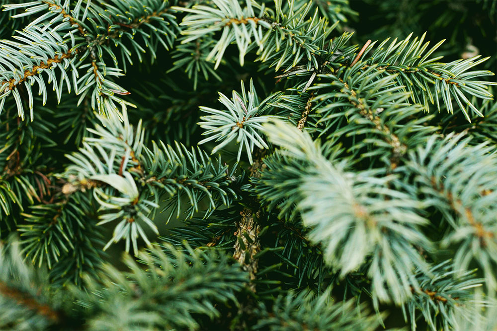 smells that make you feel happy: pine trees