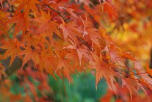 Fall foliage: Japanese Maple Tree