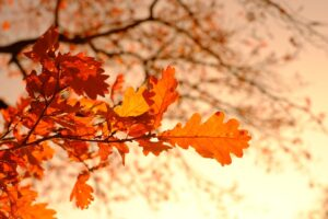 Fall foliage: Oak Tree